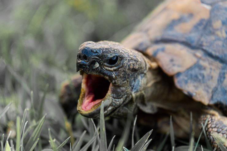 tartaruga terra prato