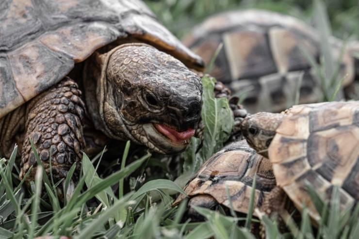 tartaruga mangiare cibo