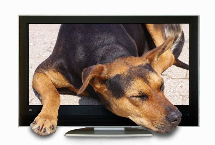 I cani guardano la Tv