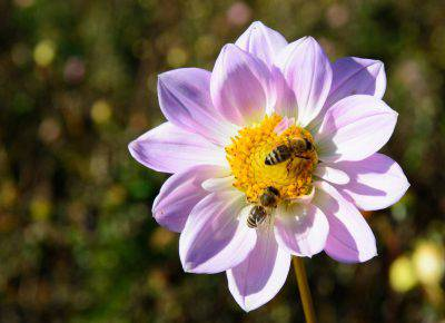 api importanti fiore
