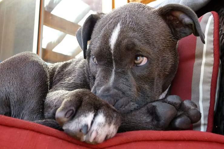 cane pitbull salva vita padrone