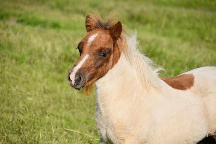 Il pony in posa (Foto Pixabay)
