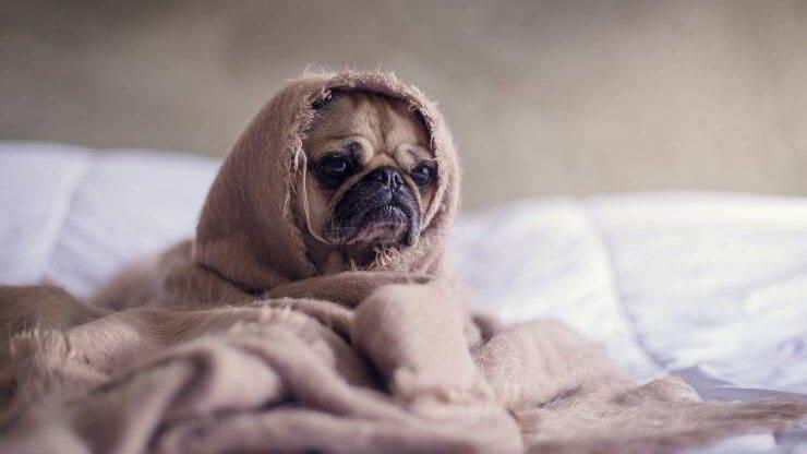 cane coperta