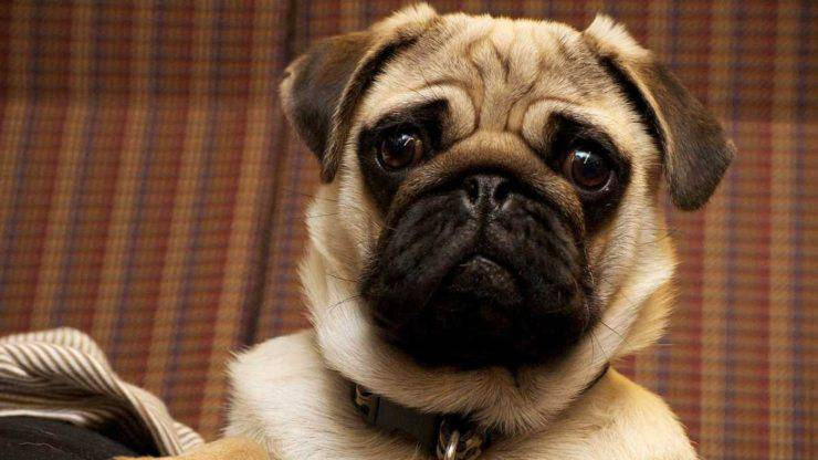 carino cani molossi molossoidi molosso