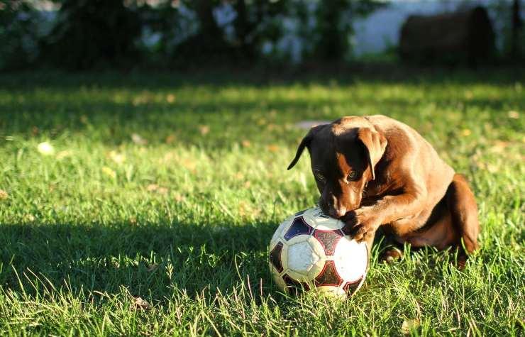 cane calcio prato