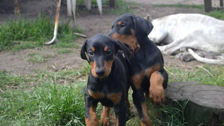 dobermann cuccioli cucciolo