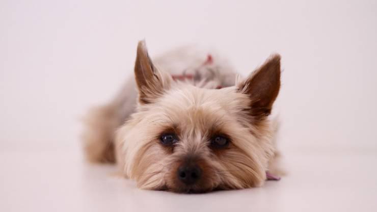 yorkshire terrier cucciolo cane