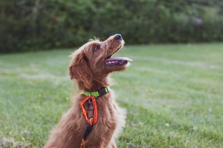 addestrare cane adulto