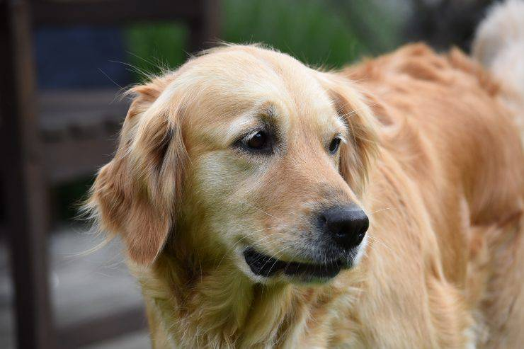 Razze canine facili da addestrare