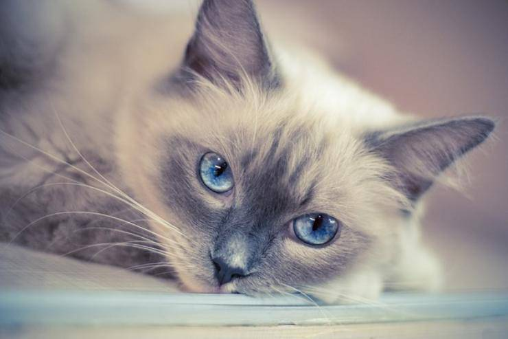 razze di gatto da appartamento