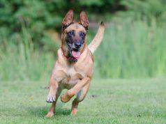 Il pastore belga che corre (Foto Pixabay)
