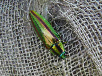 scarafaggio gioiello giapponese