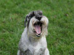 Cane ha mangiato peperoncino