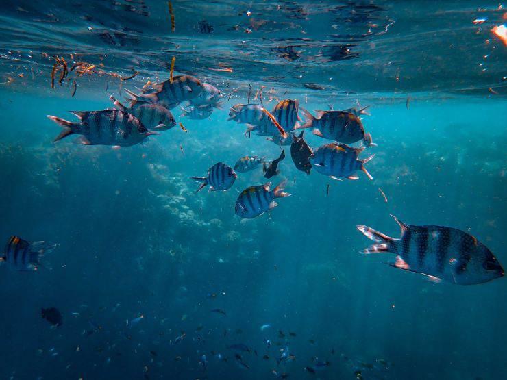 pesce angelo acquario