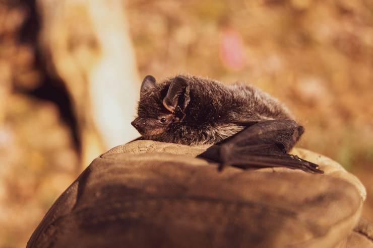 pipistrello roccia