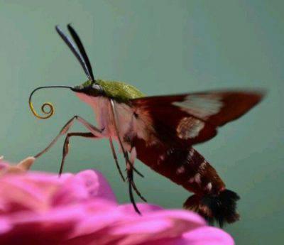sfinge colibri