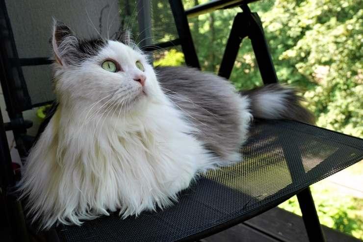 siberiano gatto