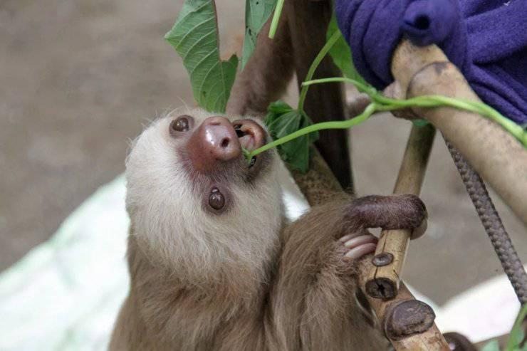 nascita cucciolo bradipo tridattilo