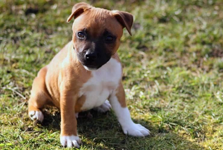 Staffordshire Bull Terrier cucciolo