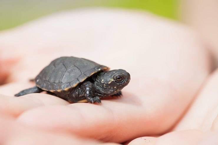 come dimostrano affetto le tartarughe