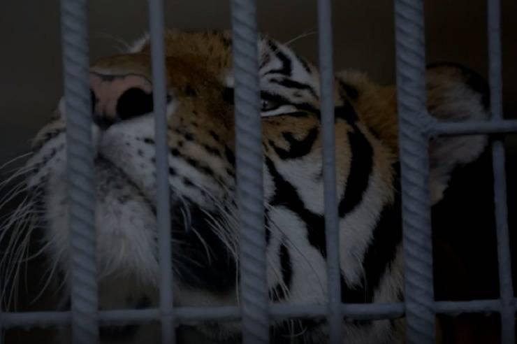 traffico allevamento tigri