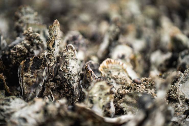 ostrica mollusco mare