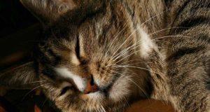 tumore della pelle nel gatto