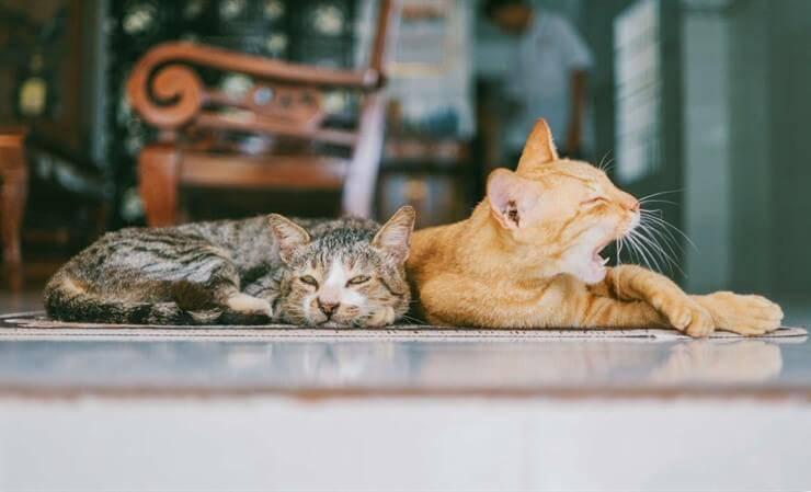 gatti relax sbadiglio