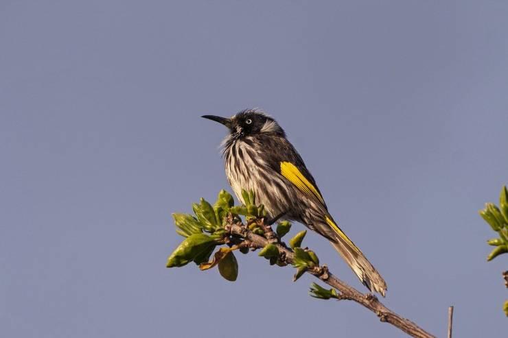 uccello australiano