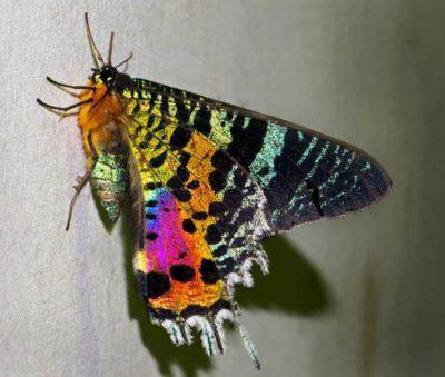 farfalla urania madagascar