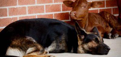vitello cane