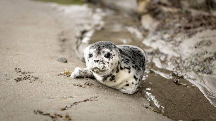 cucciolo foca pericolo