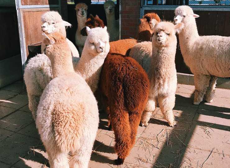 come allevare alpaca