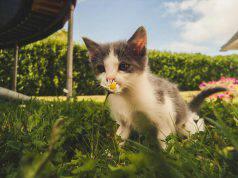 piante fiori gatto
