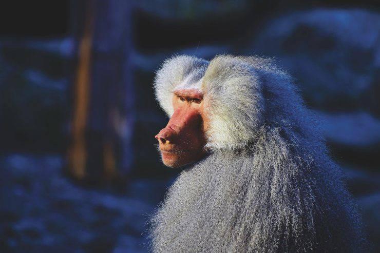 babbuino bianco