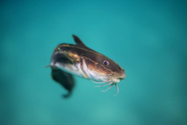 pescegatto pesci gatto