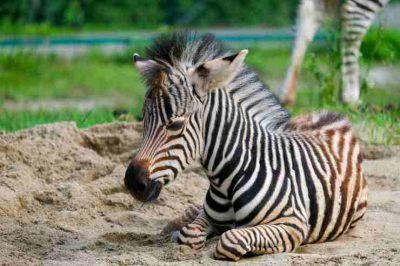 Cucciolo di zebra (Foto Pixabay)