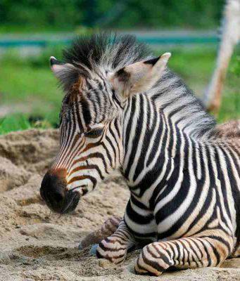 La piccola zebra (Foto Pixabay)