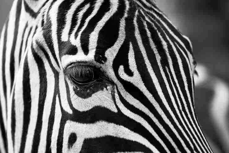 Zebra in primo piano (foto Pixabay)