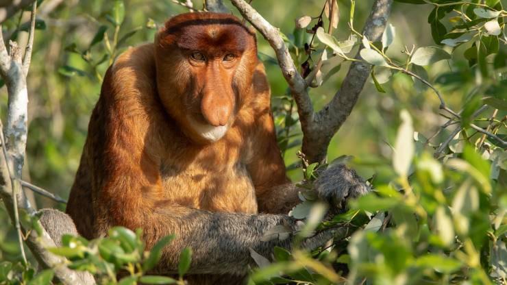 nasica scimmia borneo