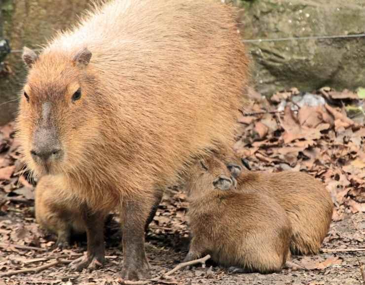 capibari cuccioli piccoli
