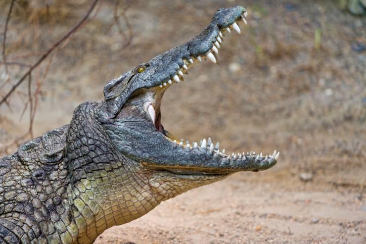 curiosità coccodrillo