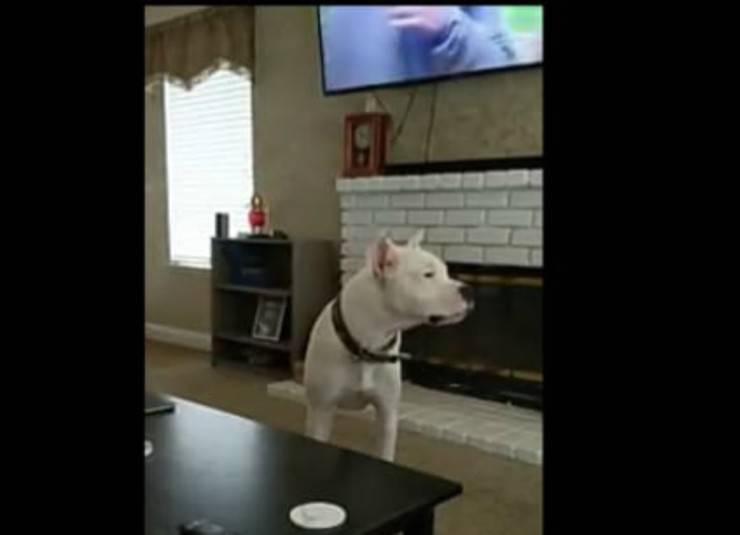 Il dogo argentino che si prepara ad impietosire il padrone (Foto video)