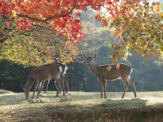 I cervi del Nara park (Foto Facebook)