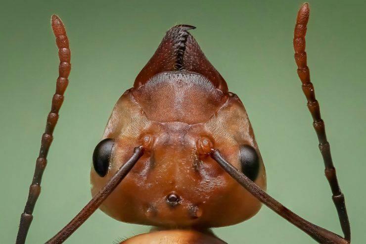 La formica regina seppellisce i simili