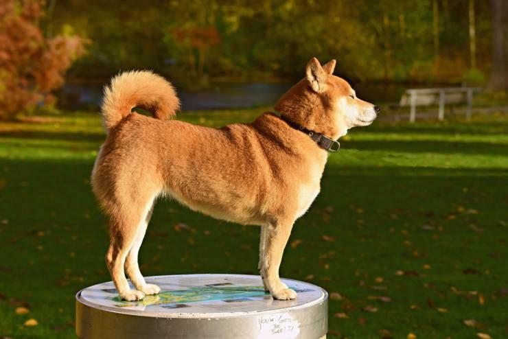 Movimenti della coda del cane
