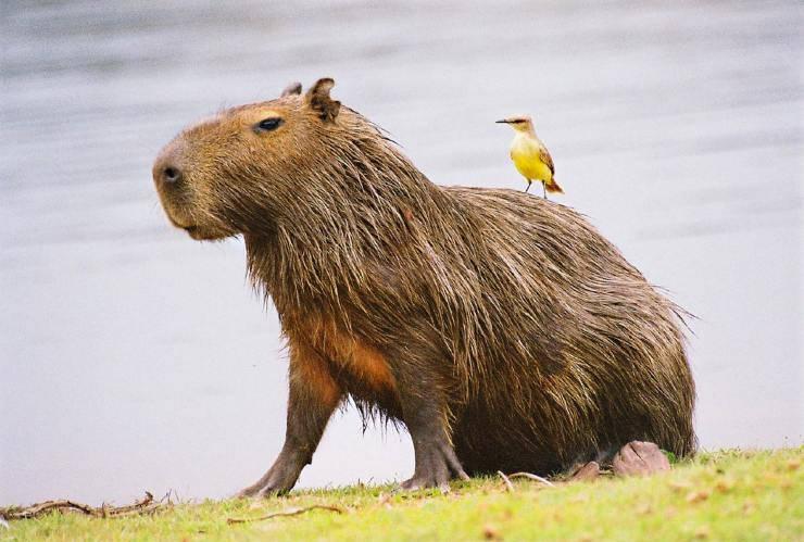 capibara uccello simbiosi