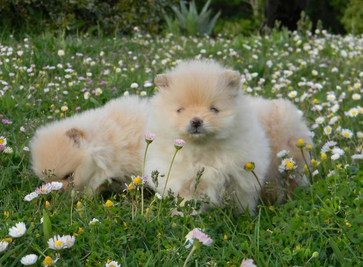 cuccioli toy cane