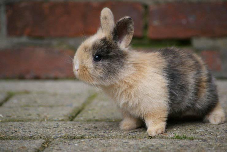 coniglio mangiare cavolfiore