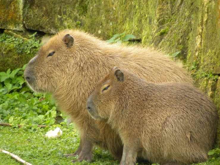 capibari roditori curiosità